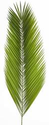 Date Leaf Palm for Palm Sunday