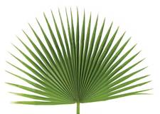 Fan Leaf Palm for Palm Sunday