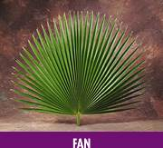 Fan Leaf Palm