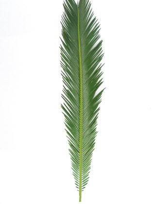 Extra Long Sago Leaf Palm